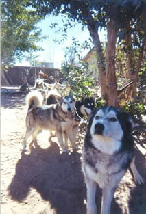 Rajah, leadin the sled dog team