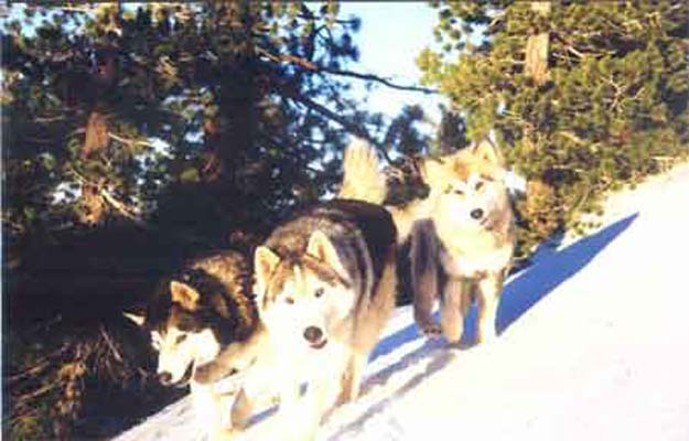 alaskan malamutes rajah and alyeska as a pup, and king the siberian husky